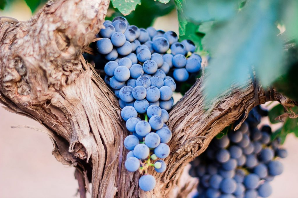 wine grapes in a tree showing natural and organic winemaking