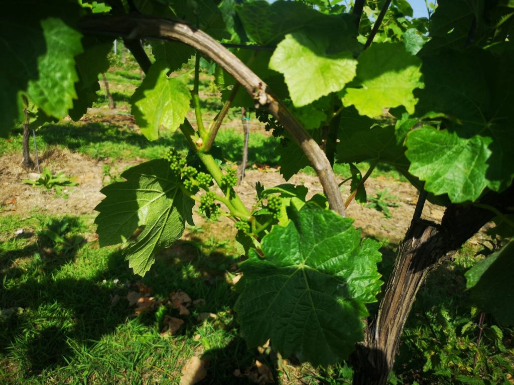 vines in the squerryes vineyards