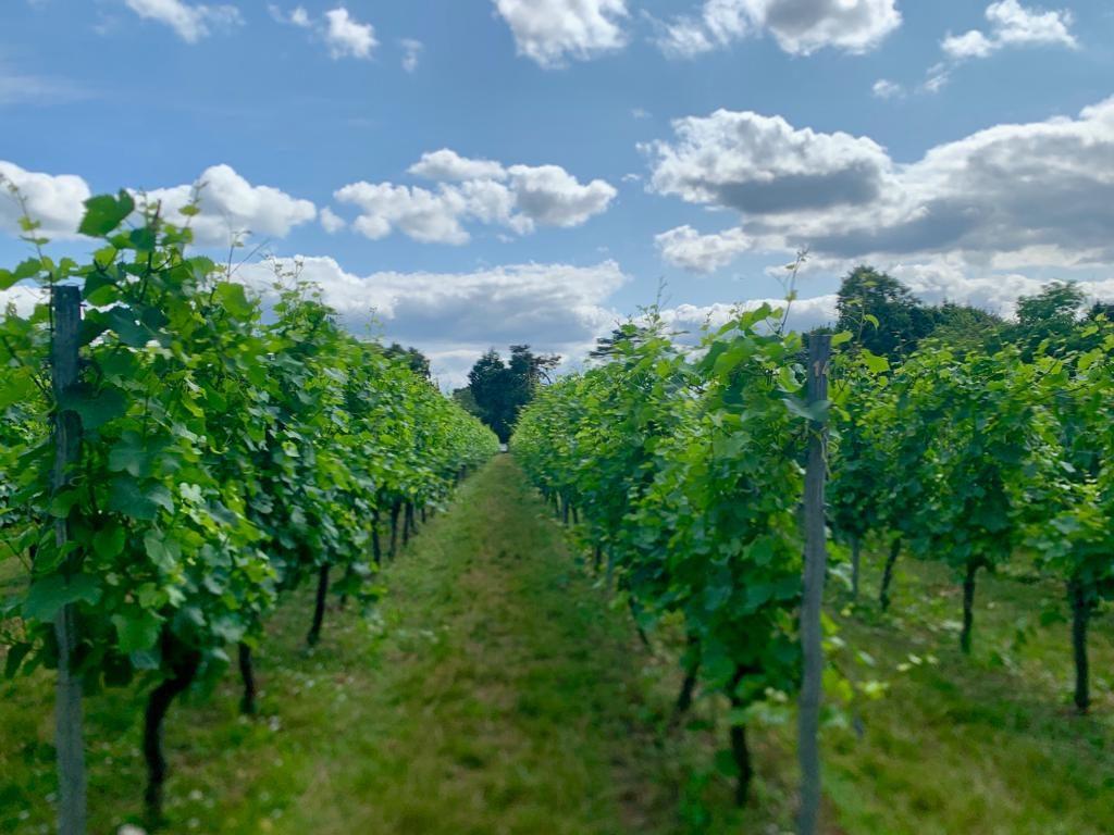 the rhondo vines in the mount vineyard